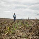 Las claves para una nutrición eficiente del maíz que genere mayor rendimiento